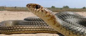 Опасные змеи в Симферополе и окрестностях